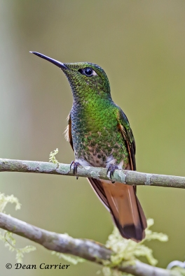 Buff-tailed Coronet, Tandayapa Lodge, Ecuador