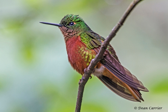 Chestnut-breasted Coronet, Guango Lodge, Ecuador