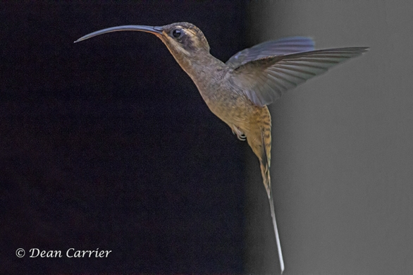 Long-billed Hermit 3