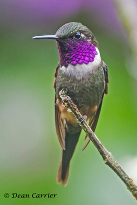 Purple-throated Woodstar 2
