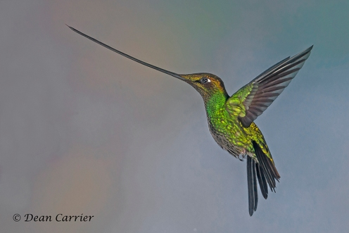 Swordbilled Hummingbird 8