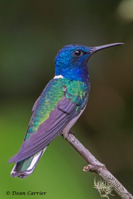 White-necked Jacobin 6