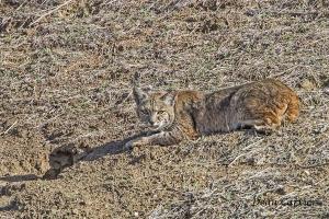 Bobcat 13