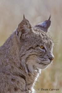 Bobcat 7