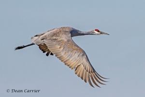 Sandhill Crane 17