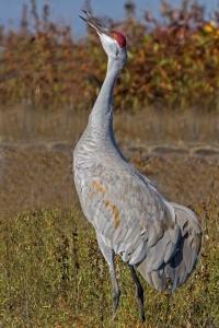 Sandhill Crane 28