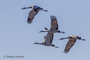 Sandhill Crane 32
