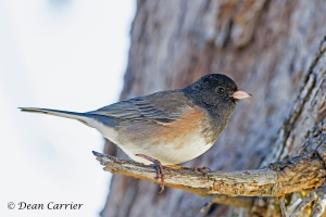 Dark-eyed Junco 15