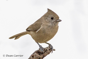 Oak Titmouse18