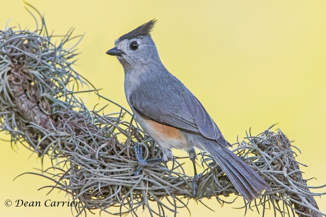Black-crested Titmouse 5