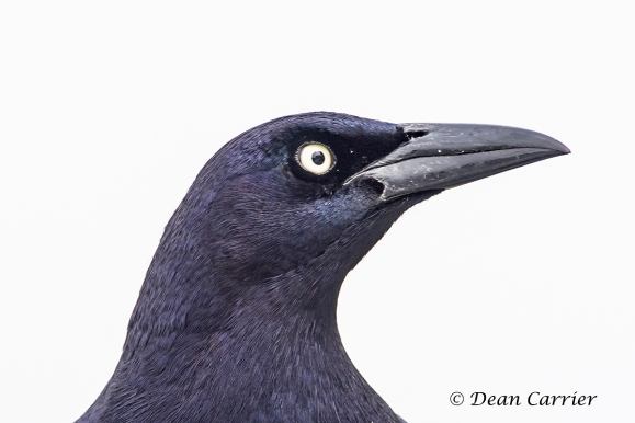 Boat-tailed Grackle 3