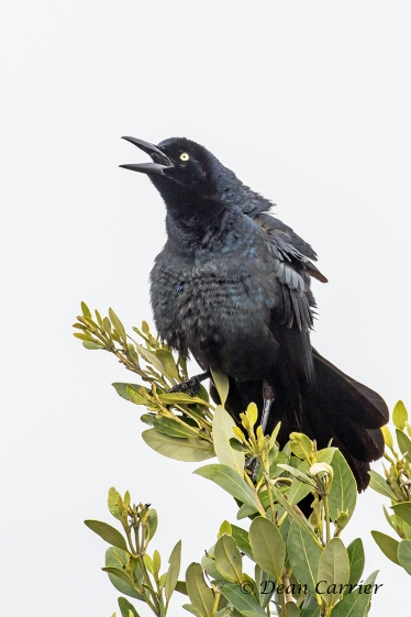Boat-tailed Grackle 4