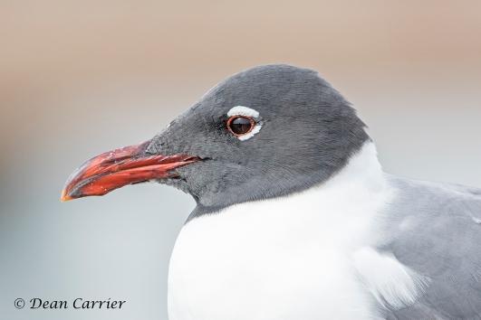 Bonaparte's Gull 1
