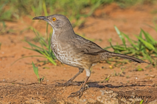 Curve-billed Thrasher 7