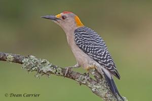Golden-fronted Woodpecker 2