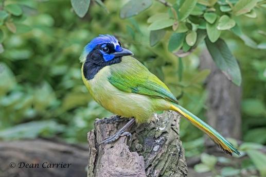 Green Jay 1