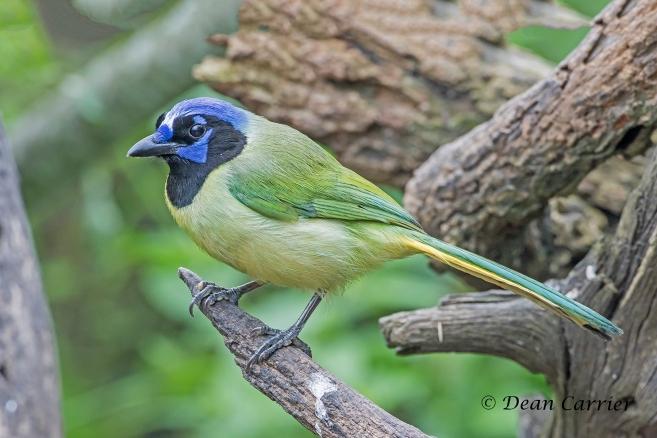 Green Jay 4