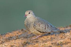 Ground Dove 4