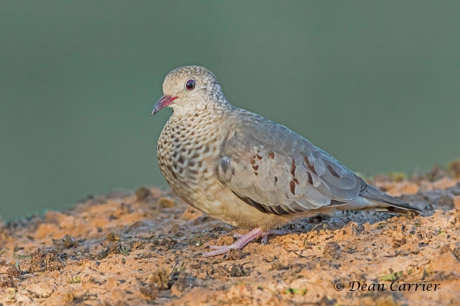 Ground Dove 4
