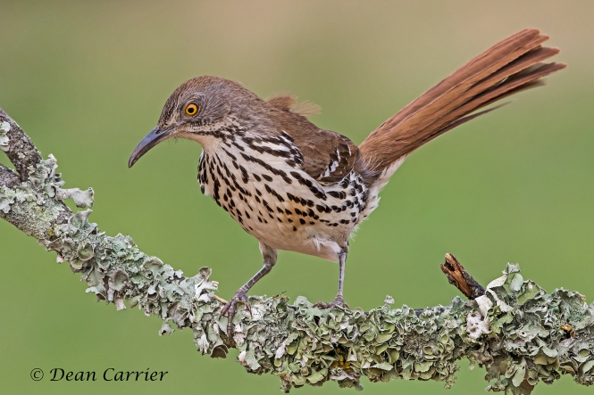 Long-billed Thrasher 1