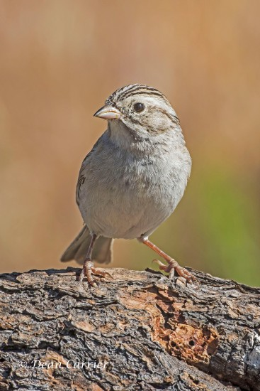 Brewer's Sparrow 2