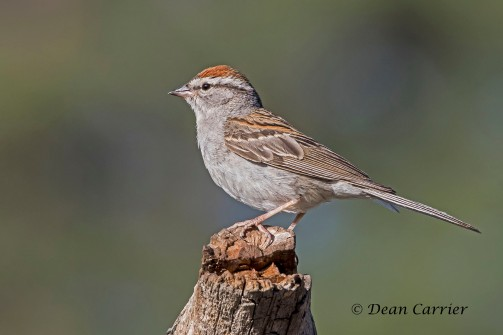 Chipping Sparrow 1