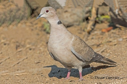 Eurasian Collared Dove 1