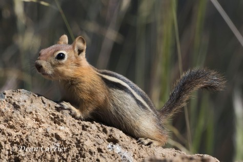 Golden-mantled Ground Squirrel 1