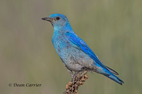 Mountain Bluebird 4