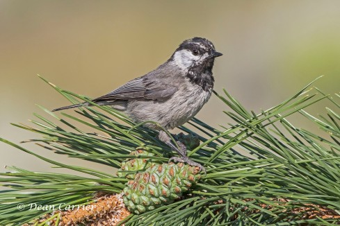 Mountain Chickadee 4