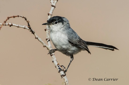 Black-tailed Gnatcatcher 5
