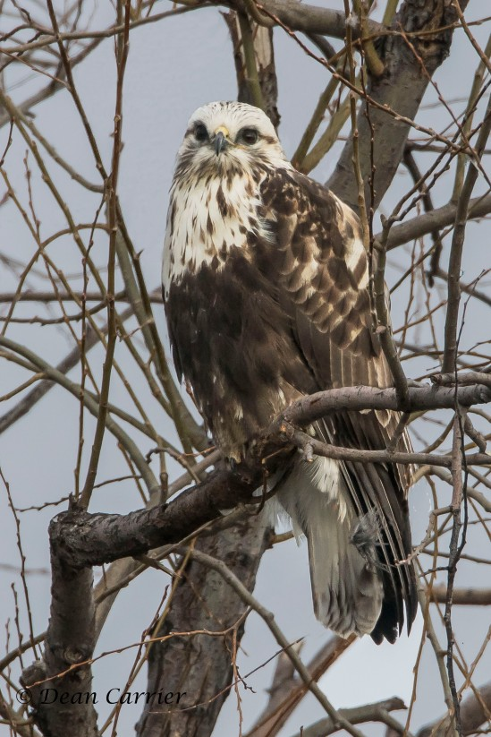Rough-legged Hawk 3