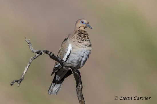White-winged Dove 10