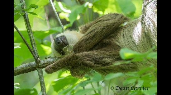 2 -toed Sloth 1x