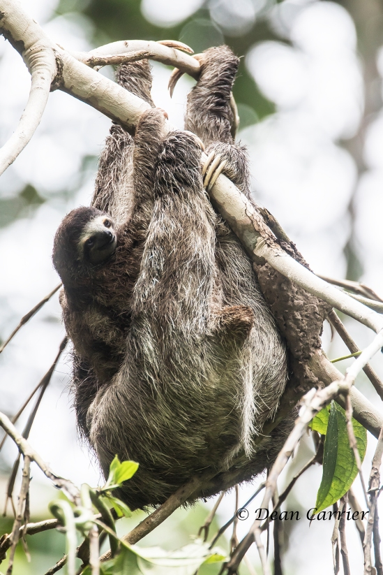 3-toed Sloth 1x