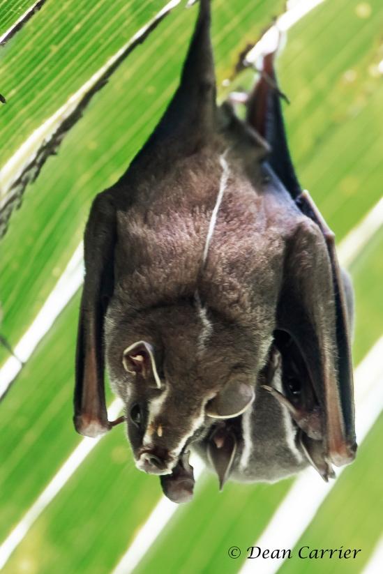 Bats 1x