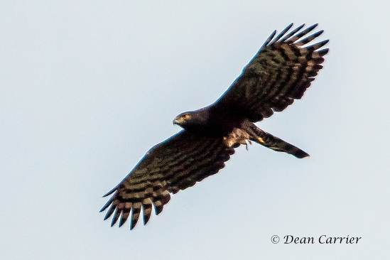 Black Hawk-eagle 1x