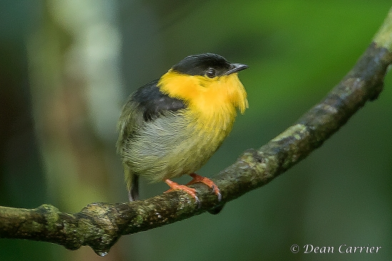 Golden-collared Manakin 1x