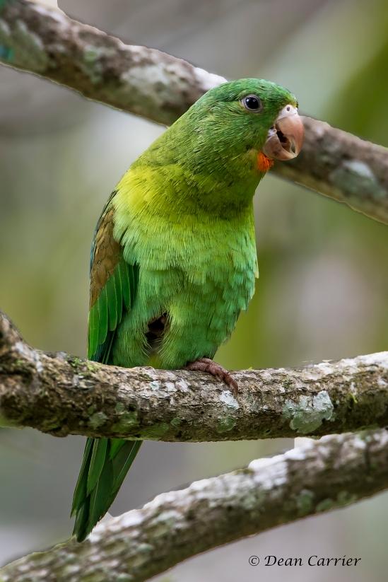 Orange-chinned Parakeet 1x