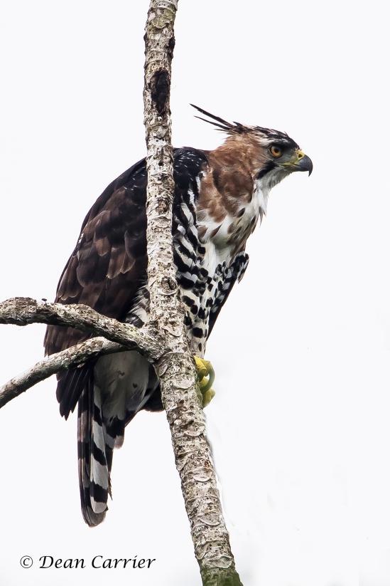 Ornate Hawk-Eagle 3x