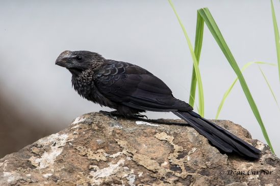 Smooth-billed Ani 1x