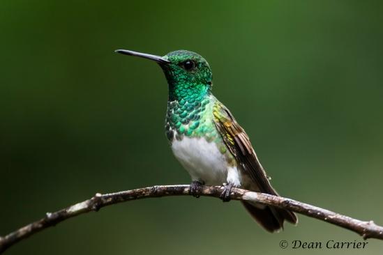 Snowy-bellied Hummingbird 3x