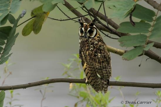 Striped Owl 1x