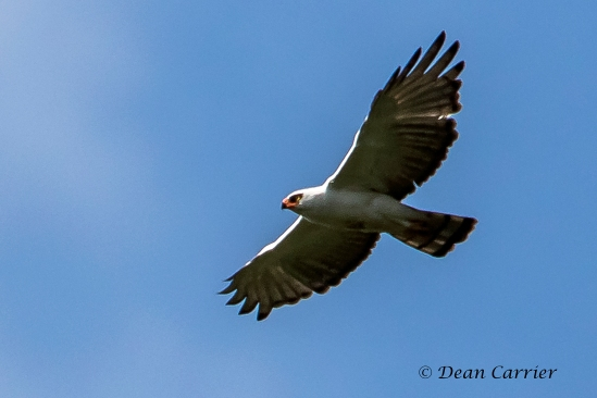White & Black Hawk-eagle 3x