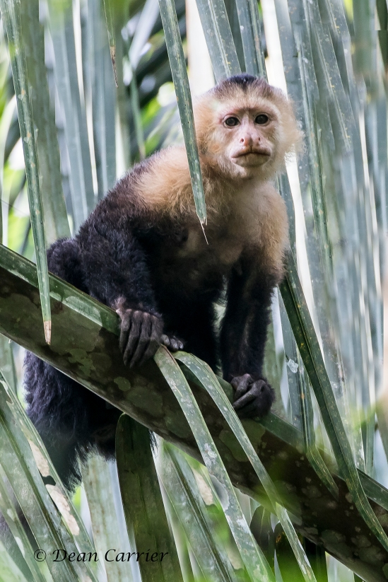White-faced Capuchin 3x
