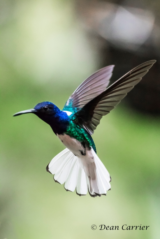 White-necked Jacobin 2x