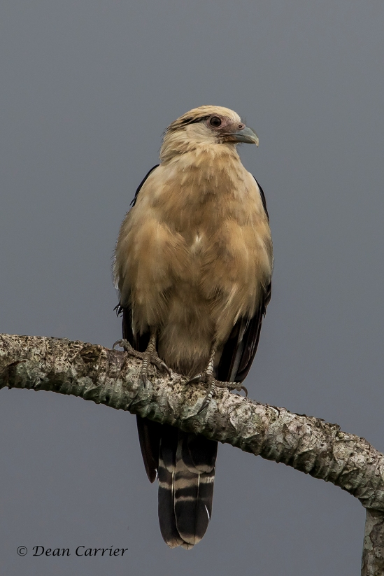 Yellow-headed Caracara 1x