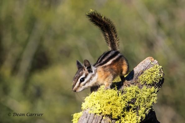 Yellow Pine Chipmunk 7a