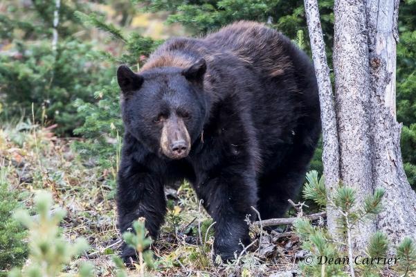 black-bear-47