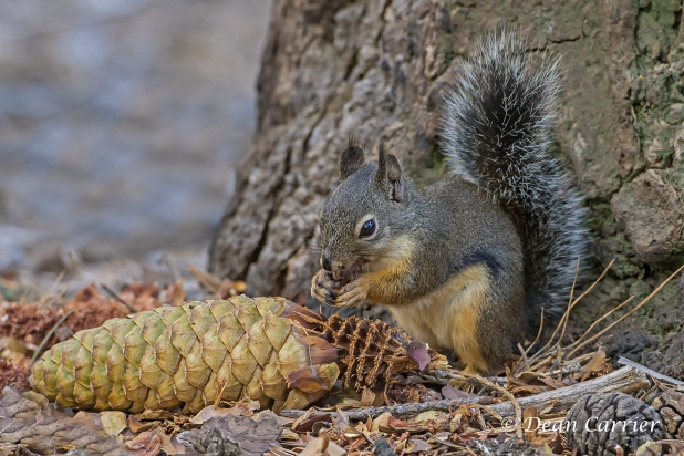 pine-squirrel-2